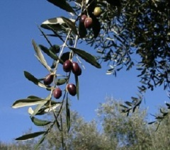 olivengrosshimmel