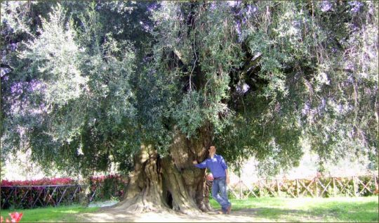 The oldest olive tree.