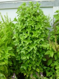 Basil-Greek