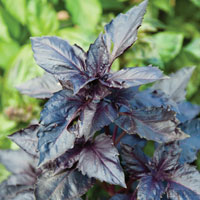basil-purple-ruffles