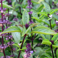 basil-sweet-thai