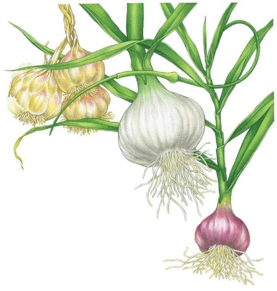 garlic5