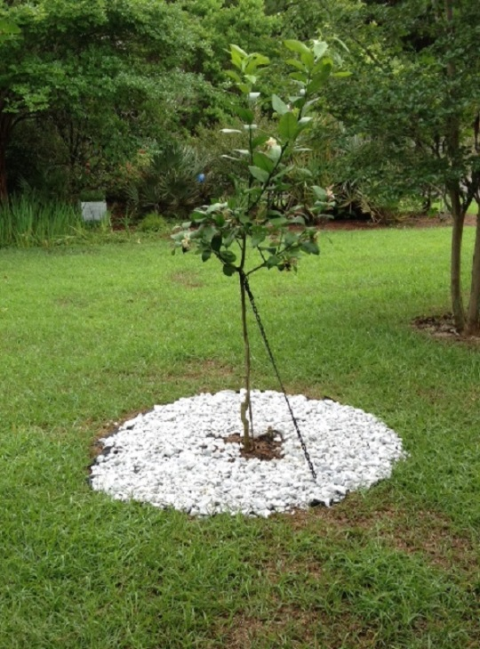 Our Newly Planted Lemon Tree