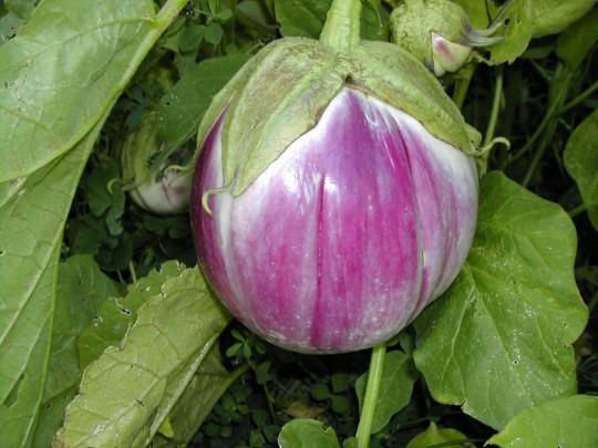 eggplantrosa