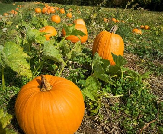 pumpkincover
