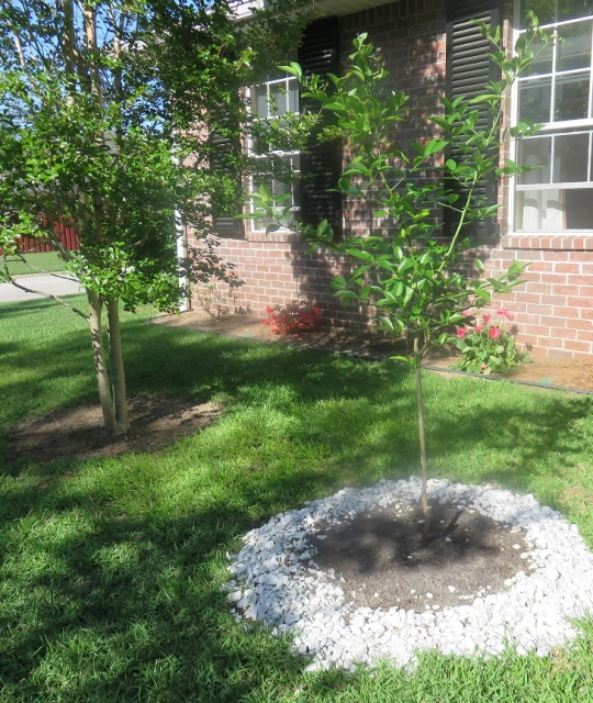 Lemon tree we planted for Earth Day 2015.